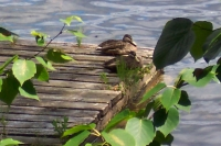 Ducks on the dock